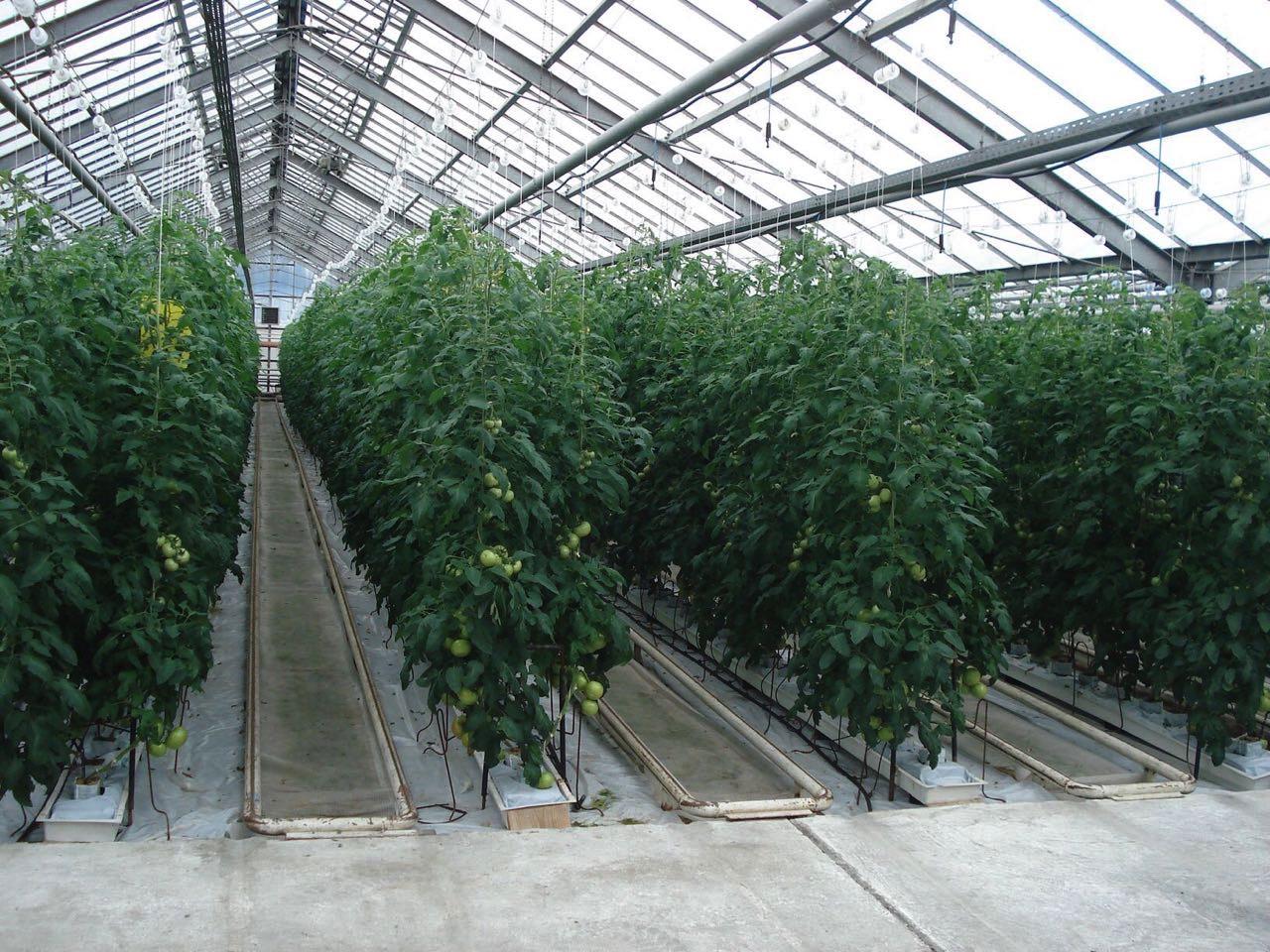 20180711 kharchenko tomatoes