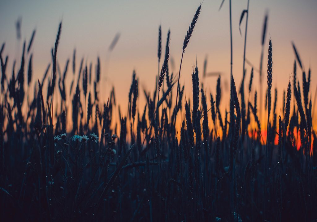 gtc field of wheat growing in the dusk or dawn