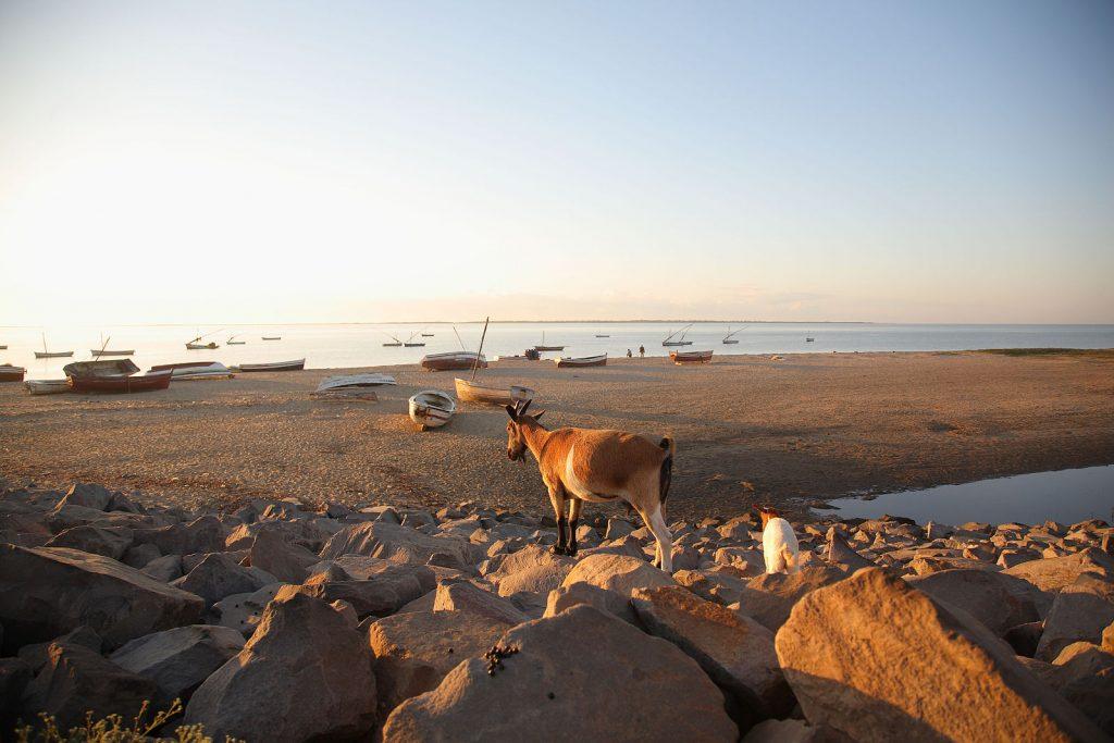 Mozambique goats